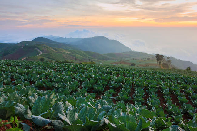 Best places to view the sea of mist in Thailand: Endless sea of cabbages and mist at Phu Tub Berk in Phetchabun