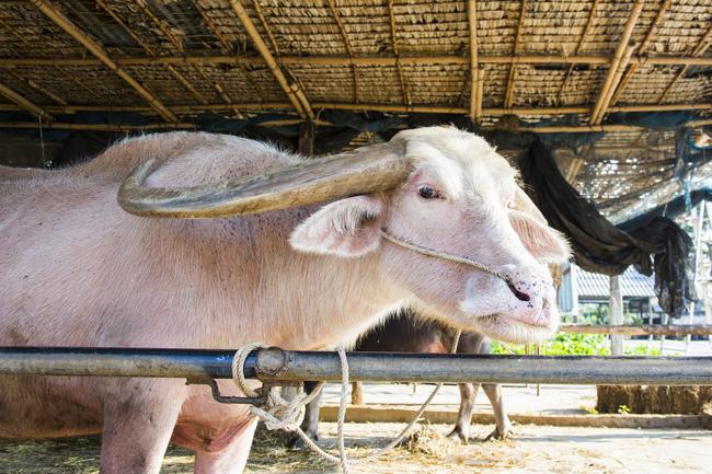 Things to do in Suphan Buri, Thailand: A rare white buffalo at Buffalo Village