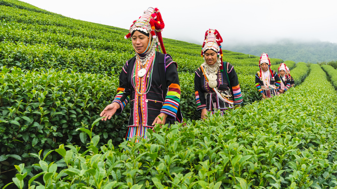 Top tea plantations in Thailand: Tea has changed the hill tribes' life and 101 Tea Plantation is part of the movement