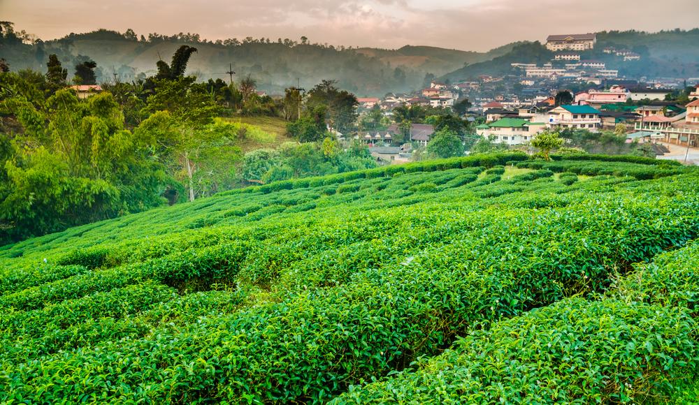 Top tea plantations in Thailand: The origin of Thai oolong tea on Doi Wawee, Chiang Rai