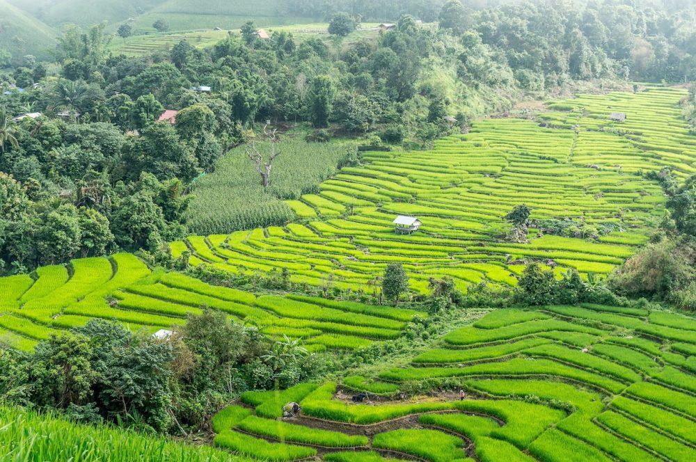 Rice terraces, Chiang Mai